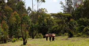 Kenya forests: over 14,000 hectares reforested under 10 years, thanks to African Development Bank