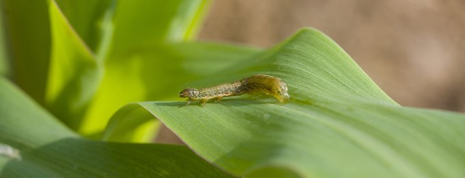 The fall army worm