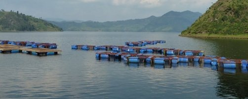 Aquaculture in small cages is being introduced in Rwanda through the PAIGELAC project