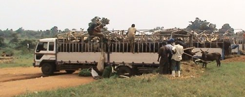 Loading cattle on truck at Kamalanzala Cattle market in Wabinyonyi Sub County in Nakasongola district