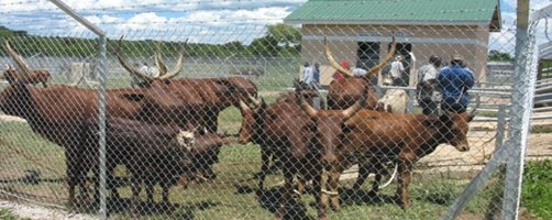 Cattle waiting to be bought at Kamalanzala Cattle market in Wabinyonyi sub county in Nakasongola district